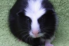 Alvin čelo